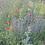Thumbnail: Gewöhnlicher Natternkopf (Echium vulgare)