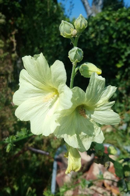 Gelbe Stockrose (Alcea rugosa)