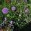 Thumbnail: Wiesen-Witwenblume (Knautia arvensis)
