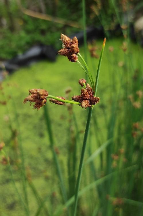 Gewöhnliche Teichbinse (Schoenoplectus lacustris)