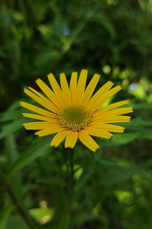 Ochsenauge (Buphthalmum Salicifolium)
