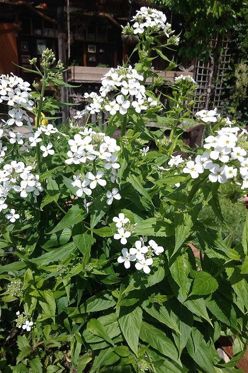 Nachtviole, weißblühend