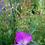 Thumbnail: Kornrade (Agrostemma githago)