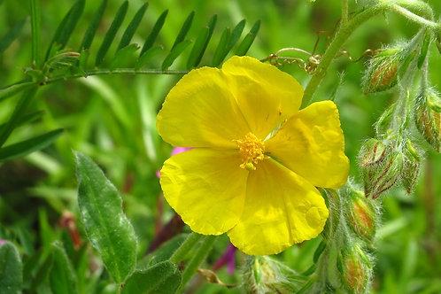 Gelbes Sonnenröschen (HelianthemumNummularium)