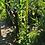 Thumbnail: Schwarze Königskerze (Verbascum nigrum)