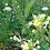 Thumbnail: Gemeine Nachtkerze (Oenothera)