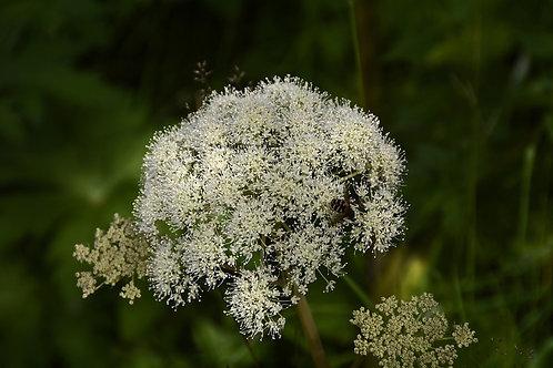 Wald Engelwurz (Angelica Sylvestris)