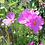 Thumbnail: Cosmea (Cosmos bipinnatus) - Mischung
