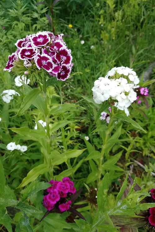 Bartnelke (Dianthus barbatus) - Mischung