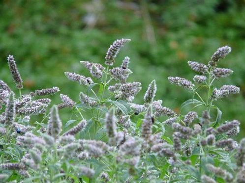 Silberminze/Rossminze (Mentha longifolia)