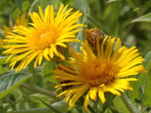 Weidenblättriger Alant (Inula Salicina)