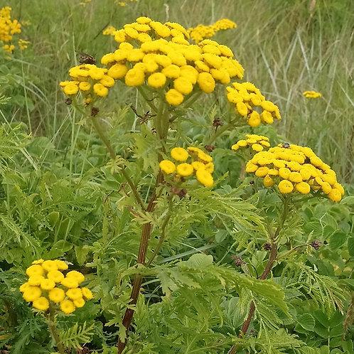 Rainfarn (Tanacetum vulgare)