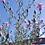 Thumbnail: Rispige Flockenblume (centaurea paniculata)