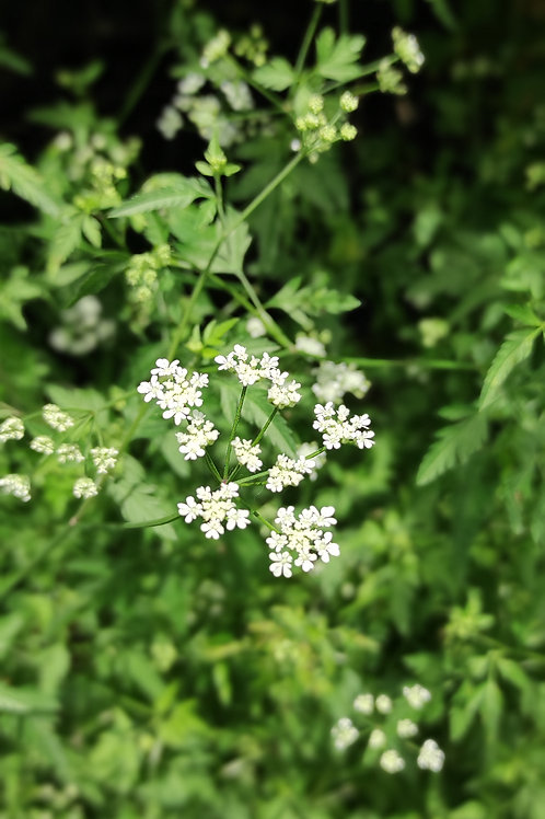 Feld-Klettenkerbel (Torilis arvensis)