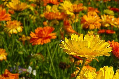 Garten-Ringelblume (Calendula officinalis)
