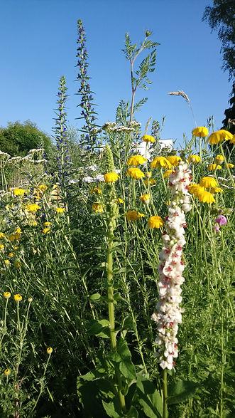 Wildblumen Korschenbroich