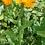 Thumbnail: Garten-Ringelblume (Calendula officinalis)