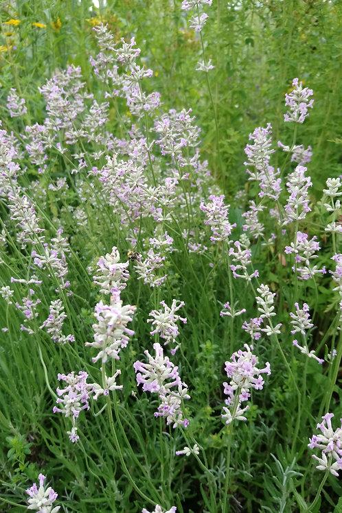 Rosablühender Lavendel (Lavandula angustifolia rosea)