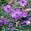 Thumbnail: Blaue Rasselblume (Catananche caerulea)