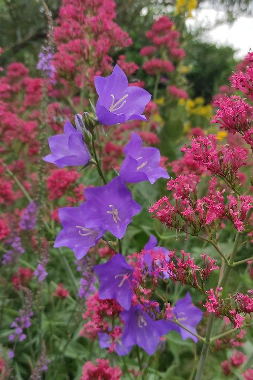 Pfirsischblättrige Glockenblume (Campanula persicifolia)