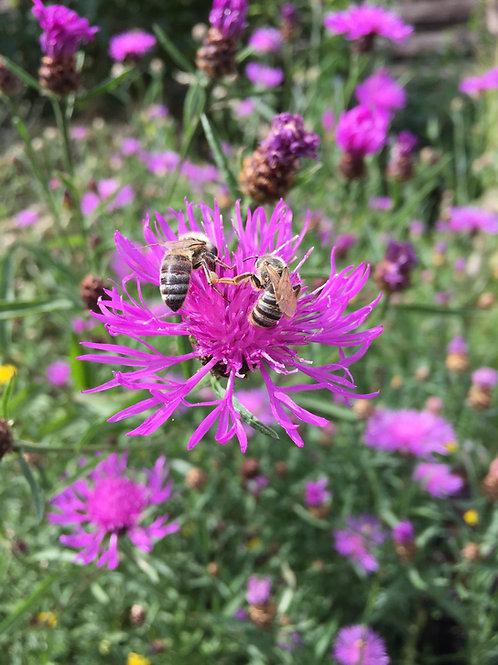Echte Flockenblume (Wiesen-Flockenblume)