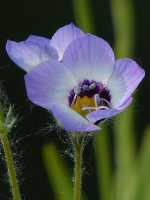 Vögeläuglein (Gilia Tricolor)