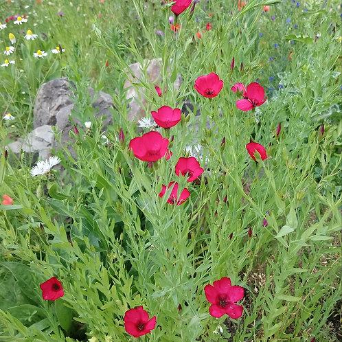 Roter Lein (Linum grandiflorum)