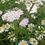 Thumbnail: Wiesen-Margerite (Leucanthemum ircutianum)