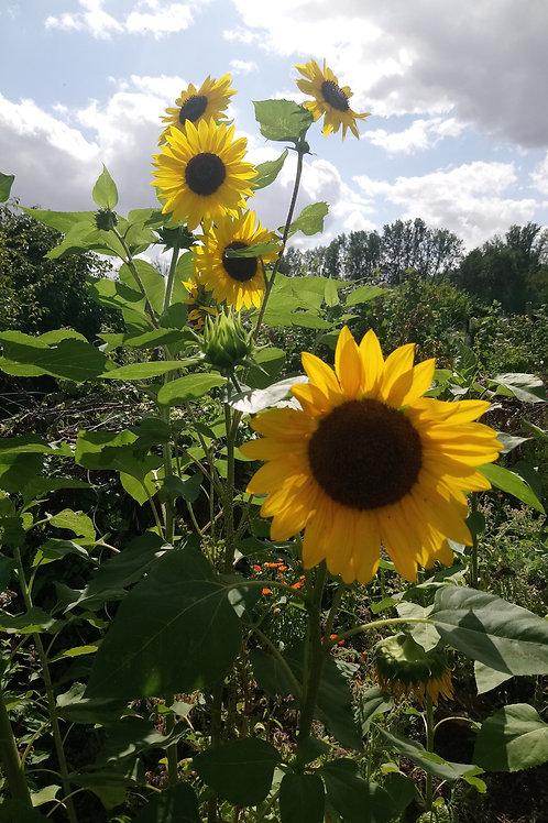 Gewöhnliche Sonnenblume