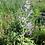 Thumbnail: Muskatellersalbei (Salvia sclarea)