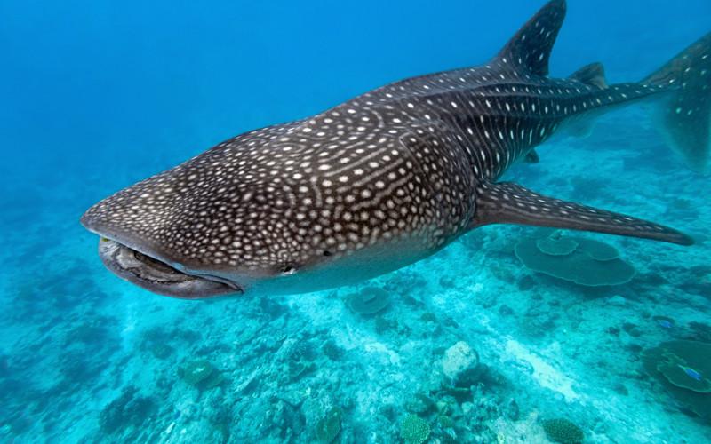 Whake Shark  | Acqua Blu Rasdhoo