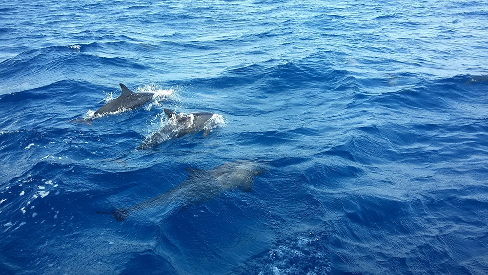 Dolphin | Acqua Blu Rasdhoo