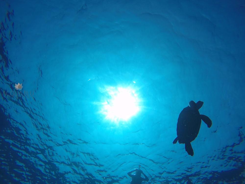 Turtle | Acqua Blu Rasdhoo