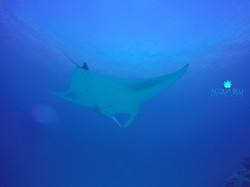Manta Snorkeling | Acqua Blu Rasdho