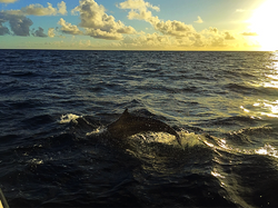 Sunset Dolphin | Acua Blu Rasdhoo