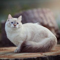 Zoya, Purebred Hypoallergenic Siberian
