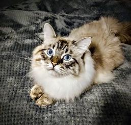 Zeus, Purebred Siberian
