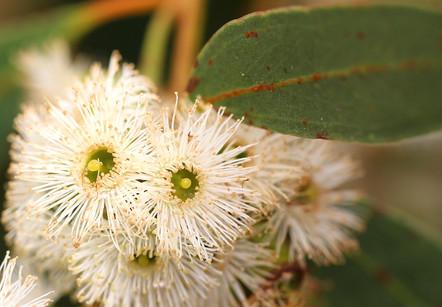 Eucalyptus porosa