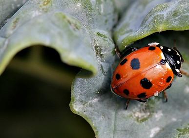 Ladybird on kale