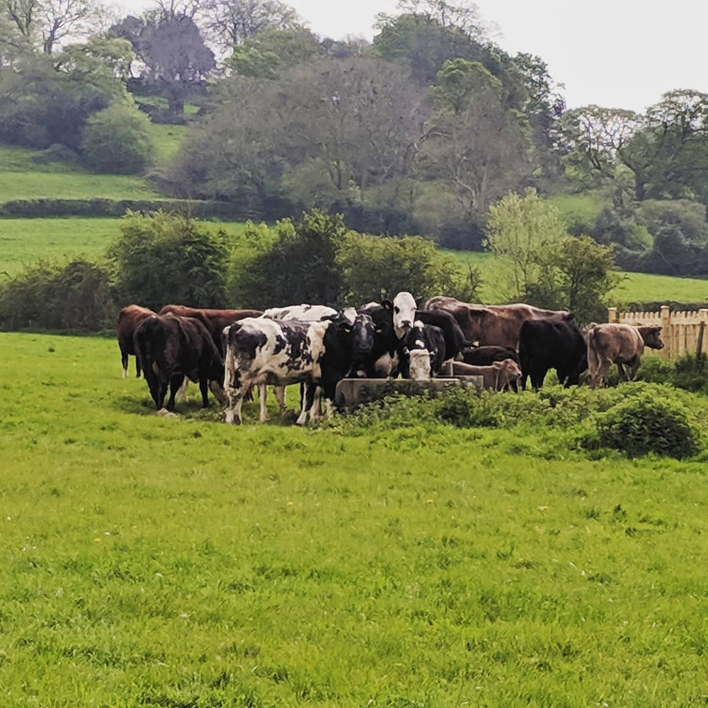 cows in stocklinch