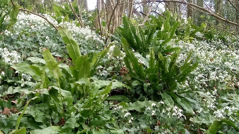 Stocklinch Snowdrop Woods