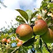 Somerset apples