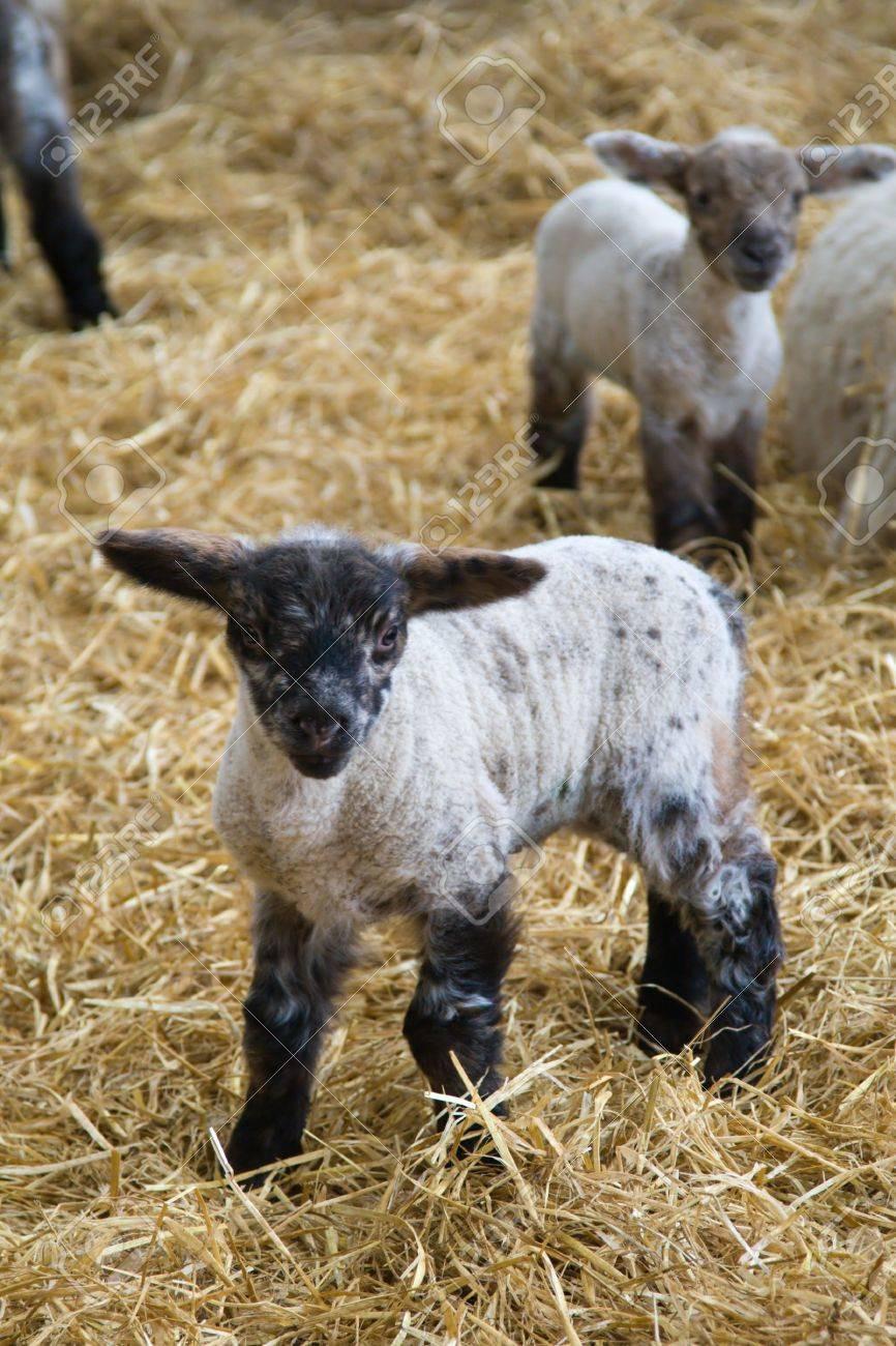 Stocklinch Spring Lambs
