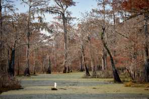Egret and swamp