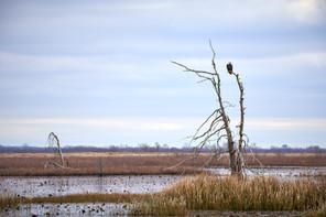 Lacassine eagle