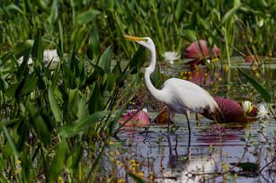 Great egret in marsh