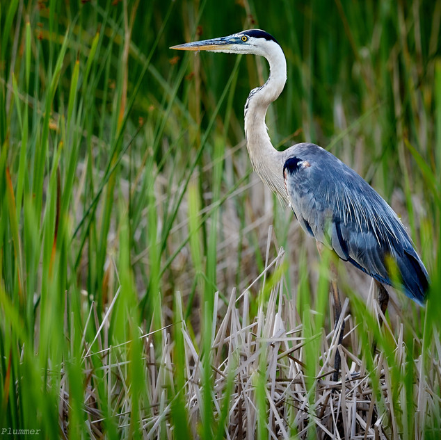 Immature great blue heron