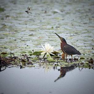 green heron, possible lunch