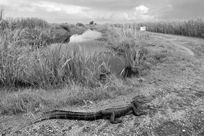 roadside gator