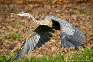 Young heron taking flight
